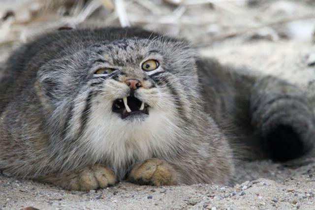 世界最凶猛的猫